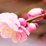 梅ヶ丘梅まつり開花状況2017年!行くならいつが良い?